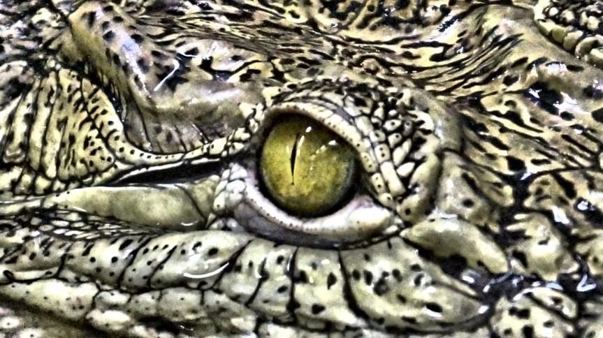 crocodile-eye-14388149166JS